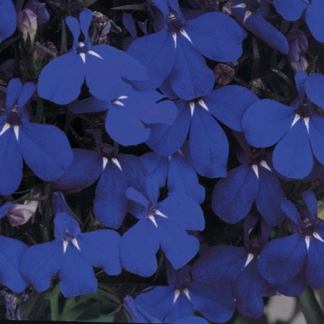 Lobelia Bedding