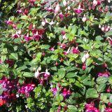 Fuchsia Upright