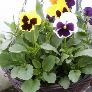 (Spring) Hanging Baskets